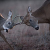 Fawn Fight 6