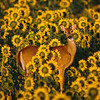Doe in sunflowers
