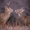 Buck Kiss 3