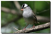5-13-07 White Crowned Sparrow