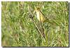 5-12-07 Yellow Warbler 30