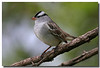 5-5-07 White Crowned Sparrow 17