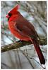 12-20-04 Cardinal 31