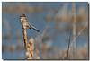 4-13-07 American Tree Sparrow 2