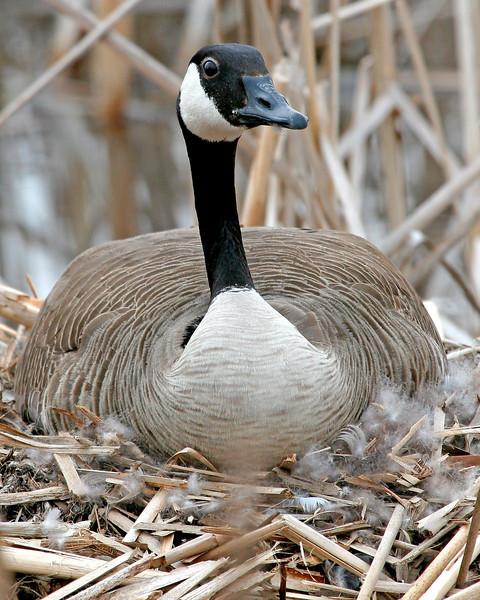 4-19-08 Goose 5