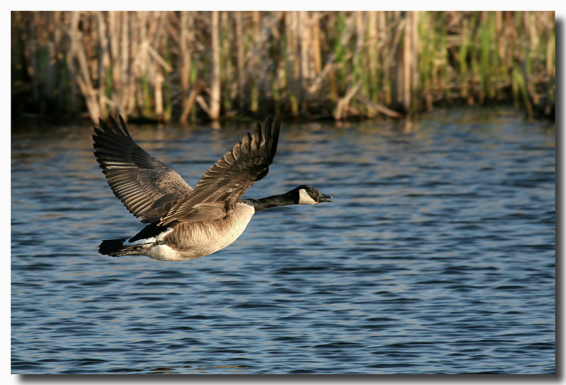 4-28-07 Canadian Goose 7