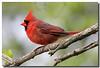 5-5-07 Cardinal
