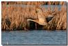 4-28-07 Sandhill Crane 9