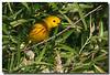5-12-07 Yellow Warbler 21