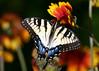 7-8-04 Swallowtail Butterfly 2