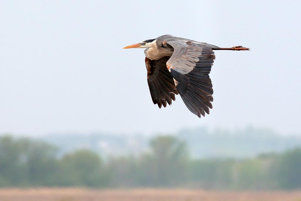 5-16-08 Great Blue Heron