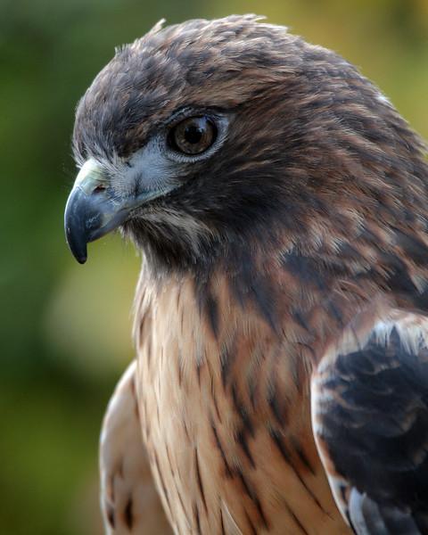 11-1-08 Redtailed Hawk 10