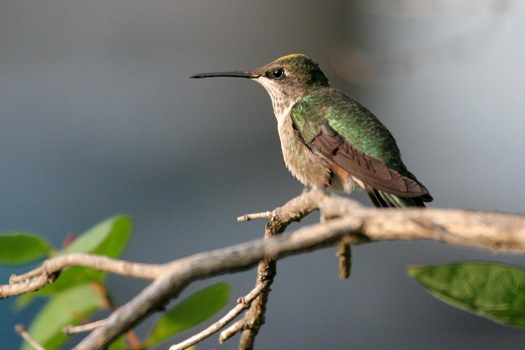 8-28-08 Hummingbird 15