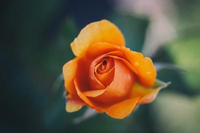 Oranje Rose (macro)