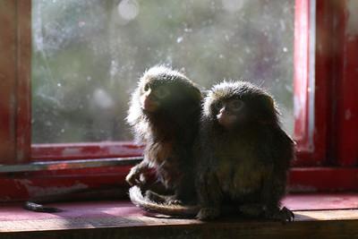 Pygmy Marmoset - Wellington Zoo