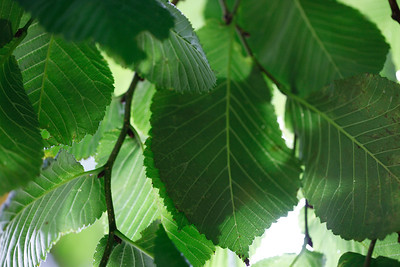 The Green leaves of Summer (Macro)
