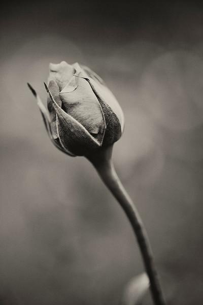Rosebud (Macro)