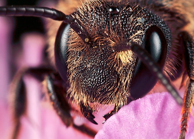 Mason bees nests in all sorts of holes: from holes in wood or thick stems (hogwood or bramble), empty snailhouses, holes in a brick wall, even in a keyhole. This type of bee can be found everywhere, even in the citycenter. Portrait mason bee, made with magnification factor 5 and f/14. The picture has been made using the Canon 7D and the Canon macro lens MP-E 65mm/f2.8.  Mason bees belong to the sub-family: Megachilinae, they transport the pollen not at the legs but between long hairs at the abdomen. Masonbees can be divided into Osmia or Hoplitis species. Sixteen mason bees are listed on the Red