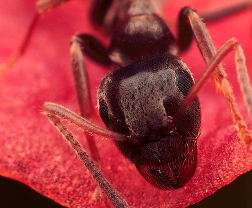 "Portrait of a large ant , made with magnification 8 and f/9.  Ants are social insects of the family Formicidae  and, along with the related wasps and bees, belong to the order Hymenoptera. Ants evolved from wasp-like ancestors in the mid-Cretaceous period between 110 and 130 million years ago and diversified after the rise of flowering plants. More than 12,500 out of an estimated total of 22,000 species have been classified. They are easily identified by their elbowed antennae and a distinctive node-like structure that forms a slender waist.  Ants form colonies that range in size from a few dozen predatory individuals living in small natural cavities to highly organised colonies which may occupy large territories and consist of millions of individuals. These larger colonies consist mostly of sterile wingless females forming castes of ""workers"", ""soldiers"", or other specialised groups. Nearly all ant colonies also have some fertile males called ""drones"" and one or more fertile females called ""queens""  (source: Wikipedia)."