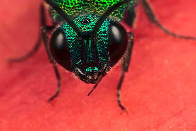A portrait of the common cuckoo wasp (Chrysis ignata)   made with magnification factor 4 and f/14, using a Canon 7D and the Canon macrolens MP-E 65 mm/f2.8.  The insect below is a cuckoo wasp. They are parasites just like the cuckoo bumble bees, only worse. Instead of being fed by their host like the cuckoo bumble bees, they feed on the larvae of their host. In Belgium and The Netherlands  there are over fourty species of cuckoo wasps and all have beautiful metallic colours. Most species specialize on a cerain host, but the Common Cuckoo Wasp (also known as the Rubytail) is not very specific: it uses all kinds of bees and wasps to let the larvae feed on (source: Garden Safari).