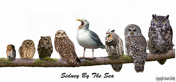Owls and Gull Sidney