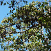 Thousands of fruit bats in trees at the Royal Gardens, Siem Reap