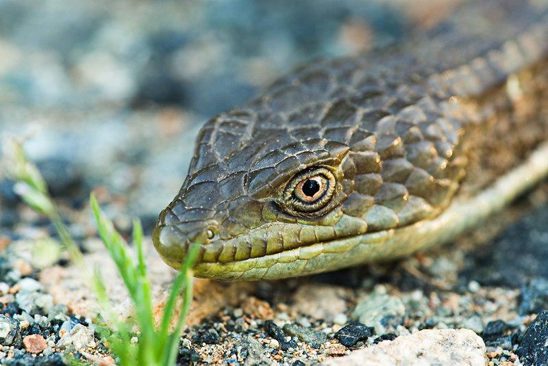 Sierra Alligator Lizard: Close Up<br /> <br /> Mariposa, CA<br /> 29 April 2006