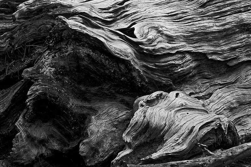 Detail of fallen Sequoia<br /> ©2017 Peter Aldrich