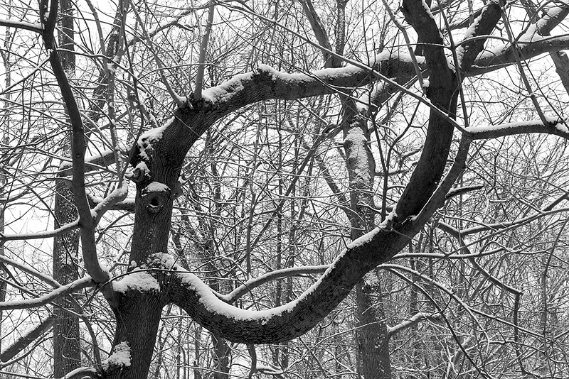 Serpentine Boughs<br /> ©2021 Peter Aldrich