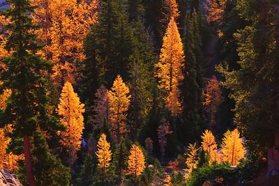 Larches at sunrise in Headlight Basin, Lake Ingalls trail, Alpine Lakes Wilderness. WA State.