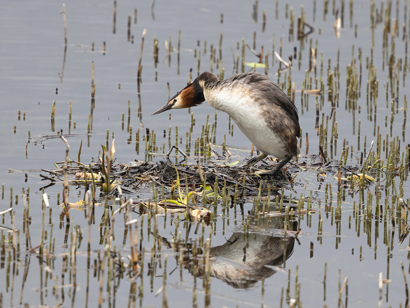 Toppdykker / Great Crested Grebe<br /> Ulvenvannet, Lier 24.5.2021<br /> Canon EOS R5 + EF 500mm f/4L IS II USM + 2x Ext