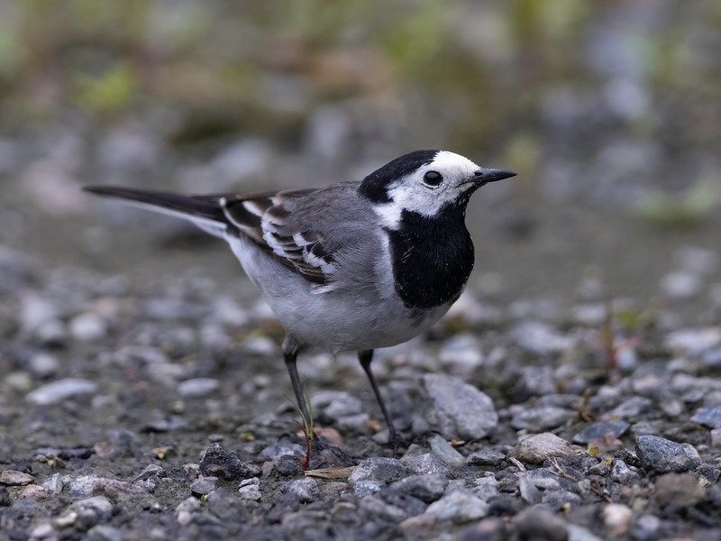 Linerle / White Wagtail<br /> Linnesstranda, Lier 19.6.2021<br /> Canon EOS R5 + EF 500 mm 4.0 L + 1.4 Ext