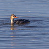 Siland / Red-breasted Merganser<br /> Hyggen, Asker 3.7.2021<br /> Canon EOS R5 + EF 500 mm F/4 L + 1.4x Ext