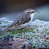 Trekryper / Tree Creeper<br /> Linnesstranda, Lier 25.12.2020<br /> Canon 5D Mark IV + EF500mm f/4L IS II USM + 1.4x Ext