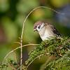 Pilfink / Eurasian Tree Sparrow <br /> Linnesstranda, Lier 30.10.2018<br /> Canon 5D Mark IV + EF 500mm f/4L IS II USM + 1.4x Ext