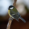 Kjøttmeis / Great Tit<br /> Linneslia, Lier 3.1.2021<br /> Canon 5D Mark IV + Canon EF 500mm f/4L IS II USM