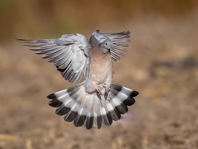 Ringdue / Common Wood-Pigeon <br /> Linnesstranda, Lier 30.9.2018<br /> Canon 5D Mark IV + EF 500mm f/4L IS II USM + 2x Ext