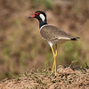 Brillevipe / Red-wattled Lapwing<br /> Kaeng Krachan, Thailand 1.2.2018<br /> Canon 7D Mark II + Tamron 150 - 600 mm 5,0 - 6,3 G2