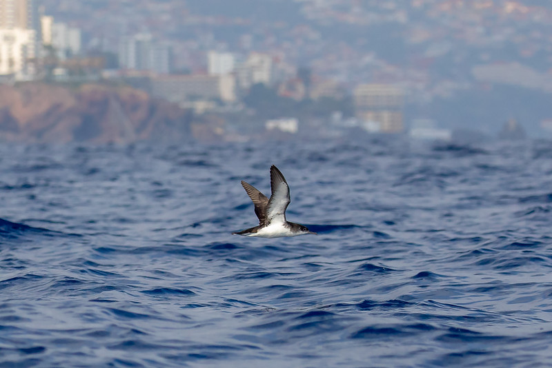 Havlire / Manx Shearwater<br /> Madeira, Portugal 2.7.2018<br /> Canon 5D Mark IV + EF 100-400mm f/4.5-5.6L IS II USM + 1.4x Ext