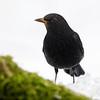 Svarttrost / Eurasian Blackbird<br /> Linnesstranda, Lier 21.2.2021<br /> Canon EOS R5 + EF500mm f/4L IS II USM +1.4x III