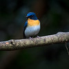 Buskfluesnapper / Tickell's Blue Flycatcher<br /> Kaeng Krachan, Thailand 31.1.2018<br /> Canon 7D Mark II + Tamron 150 - 600 mm 5,0 - 6,3 G2