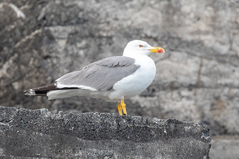 Gulbeinmåke / Yellow-legged Gull<br /> Madeira, Portugal 2.7.2018<br /> Canon 5D Mark IV + EF 100-400mm f/4.5-5.6L IS II USM + 1.4x Ext III