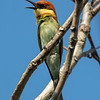 Bengalbieter / Chestnut-headed Bee-eater<br /> Nong Pla Lai, Thailand 31.1.2018<br /> Canon 7D Mark II + Tamron 150 - 600 mm 5,0 - 6,3 G2