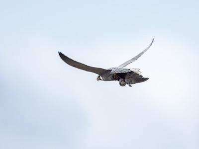 Vandrefalk / Peregrine Falcon <br /> Linnes, Lier 4.4.2020<br /> Canon  5D Mark IV + EF 500mm f/4L IS II USM + 1.4x Ext
