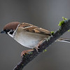 Pilfink / Eurasian Tree Sparrow <br /> Linnesstranda, Lier 21.2.2021<br /> Canon EOS R5 + EF 500mm f/4L IS II USM + 1.4x Ext