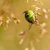 Ung breitege / Young stinkbug