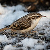 Trekryper / Tree Creeper<br /> Linnesstranda, Lier 3.1.2021<br /> Canon 5D Mark IV + EF500mm f/4L IS II USM