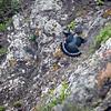 Madeiradue / Trocaz Pigeon<br /> Madeira, Portugal 1.7.2018<br /> Canon 5D Mark IV + EF 100-400mm f/4.5-5.6L IS II USM + 1.4x Ext
