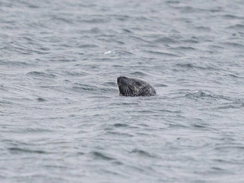 Steinkobbe / Harbour seal<br /> Oslofjorden 29.3.2021<br /> Canon EOS R5 + EF 500mm f/4L IS II USM + 1.4x Ext