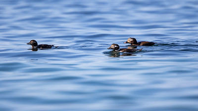 Havelle / Longtailed Duck<br /> Østhassel, Lista 19.5.2018<br /> Canon 7D Mark II + EF 500mm f/4L IS II USM + 1.4x Ext